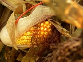 In a corn shock