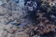 blue lipped reef fish
