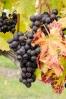 late season grapes-2