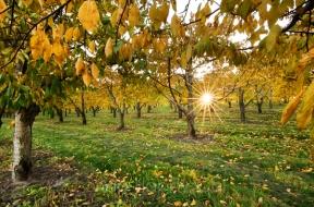 orchard sunburst